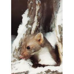 Steinmarder im Winter - Ansichskarte