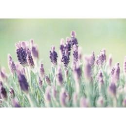 Lavendel - Postkarte