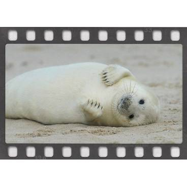 Seehund - DIA-Postkarte