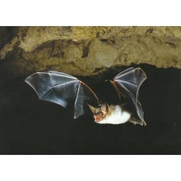 Fledermaus - Ansichtskarte