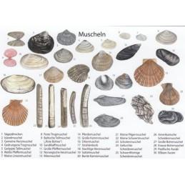 Muscheln 2 - Ansichtskarte