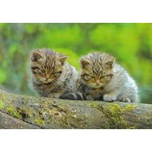 European Wildcat - Viewcard