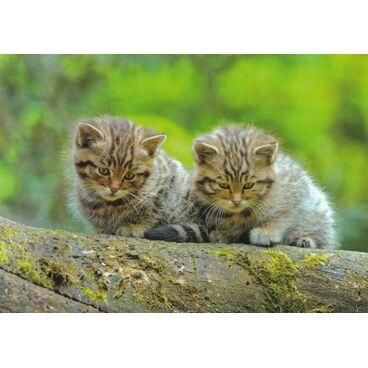 Europäisches Wildkätzchen - Ansichtskarte