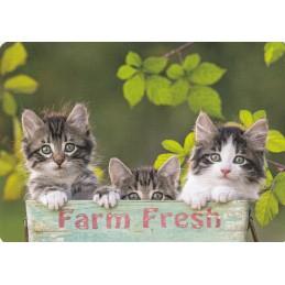 Curious cats - Medley postcard