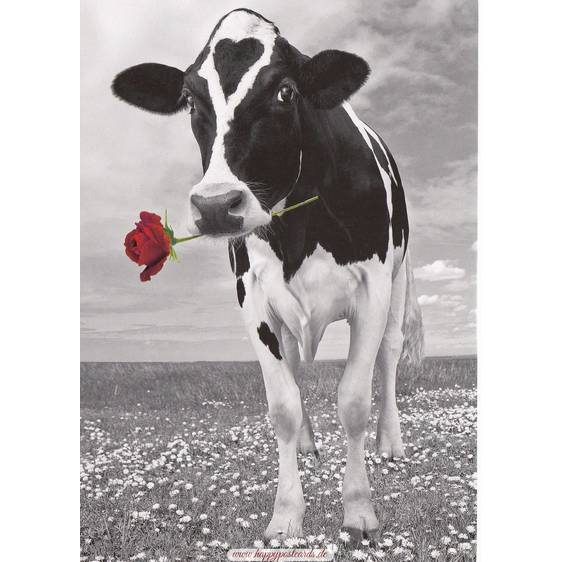 Cow with a rose - Postcard