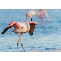 Flamingo - Postcard