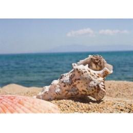 Shell - Postcard