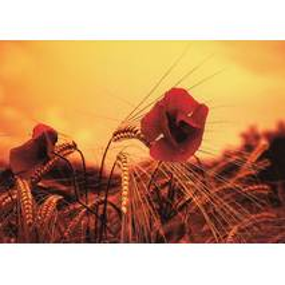 Poppy - Postcard