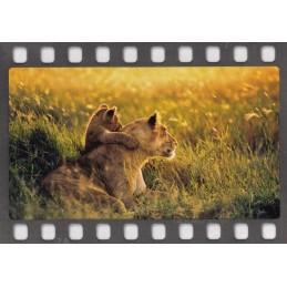 Lions - Postcard