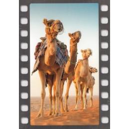 Camels in the Desert - Postcard
