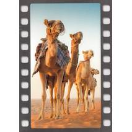 Kamele in der Wüste - Postkarte