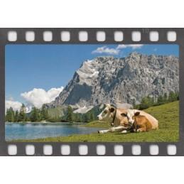 Kühe vor den Alpen - Postkarte