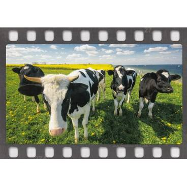 Cows in the meadow - Postcard